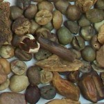 Imagen grano robusta variedad 3 rechazado001