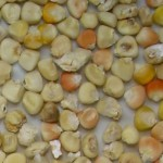 maiz de campo blanco - descartado