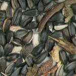 Imagen semilla girasol descartado 2