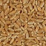 trigo comun variedad 1 - aceptado