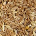 trigo comun variedad 2 - rechazado