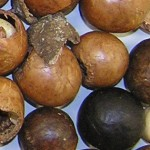 Imagen nuez macadamia cascara rechazada 001
